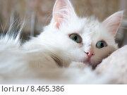 Кошка породы Турецкая ангора. Стоковое фото, фотограф Оксана Зенит-Журавлева / Фотобанк Лори