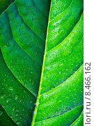 Зеленый лист в каплях воды. Стоковое фото, фотограф Alexander Alexeev / Фотобанк Лори