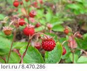 Спелые ягоды земляники на фоне леса. Стоковое фото, фотограф Валерий Егоров / Фотобанк Лори