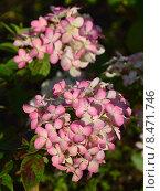 Купить «Гортензия метельчатая Даймонд Руж (лат. Hydrangea paniculata Diamond Rouge)», эксклюзивное фото № 8471746, снято 1 августа 2015 г. (c) lana1501 / Фотобанк Лори