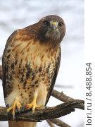 Купить «Red-tailed Hawk (buteo jamaicensis)», фото № 8488854, снято 16 сентября 2019 г. (c) PantherMedia / Фотобанк Лори