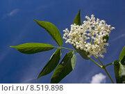 elder holunderbl te medicinal plant. Стоковое фото, фотограф Christa Eder / PantherMedia / Фотобанк Лори