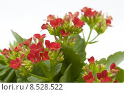 Купить «plant flower blossfeldiana decorative flammendes», фото № 8528522, снято 22 октября 2018 г. (c) PantherMedia / Фотобанк Лори
