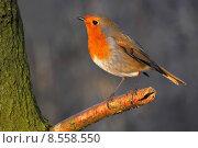 Купить «nature fauna disposition bobolinks robin», фото № 8558550, снято 24 мая 2019 г. (c) PantherMedia / Фотобанк Лори