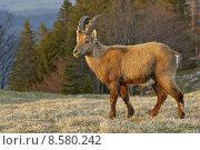 Купить «wild mountain forest alps capricorn», фото № 8580242, снято 19 января 2020 г. (c) PantherMedia / Фотобанк Лори