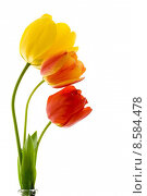 Купить «Tulips», фото № 8584478, снято 24 октября 2018 г. (c) PantherMedia / Фотобанк Лори