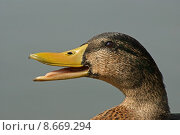 Купить «beak duck waterfowls cackle waterfowl», фото № 8669294, снято 18 июня 2019 г. (c) PantherMedia / Фотобанк Лори