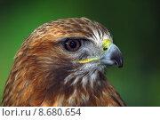 Купить «Red-tailed hawk», фото № 8680654, снято 16 сентября 2019 г. (c) PantherMedia / Фотобанк Лори