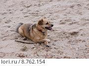 Купить «beach play sand game dog», фото № 8762154, снято 25 марта 2019 г. (c) PantherMedia / Фотобанк Лори