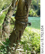 Купить «tree strength knot force manacle», фото № 8792654, снято 22 апреля 2019 г. (c) PantherMedia / Фотобанк Лори