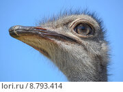 Портрет страуса на фоне неба. Стоковое фото, фотограф Елена Махнева / Фотобанк Лори