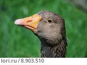 Купить «eye beak organ poultry goose», фото № 8903510, снято 20 июня 2019 г. (c) PantherMedia / Фотобанк Лори