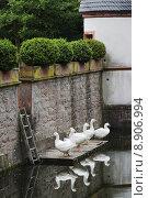 Купить «goose geese gander anser domestiziert», фото № 8906994, снято 23 июля 2019 г. (c) PantherMedia / Фотобанк Лори