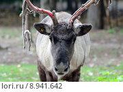 Купить «Caribou», фото № 8941642, снято 22 марта 2019 г. (c) PantherMedia / Фотобанк Лори