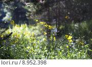 Лесные цветы. Стоковое фото, фотограф Сергей Шпаков / Фотобанк Лори