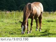 Купить «animal brown brunette mammal meadow», фото № 9013190, снято 19 сентября 2019 г. (c) PantherMedia / Фотобанк Лори