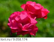 Роза парково-кустовая Нокаут (RADrazz, Purple Meidiland) (лат. Knock Out) Стоковое фото, фотограф lana1501 / Фотобанк Лори