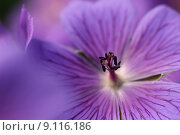 Купить «purple cranesbill bl te bluete», фото № 9116186, снято 24 мая 2019 г. (c) PantherMedia / Фотобанк Лори