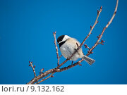 Купить «Black-capped Chickadee on a Branch», фото № 9132162, снято 19 апреля 2019 г. (c) PantherMedia / Фотобанк Лори