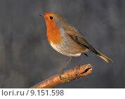 Купить «nature fauna disposition bobolinks robin», фото № 9151598, снято 24 мая 2019 г. (c) PantherMedia / Фотобанк Лори