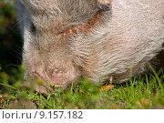 Купить «nature animal nose pig proboscis», фото № 9157182, снято 25 мая 2019 г. (c) PantherMedia / Фотобанк Лори