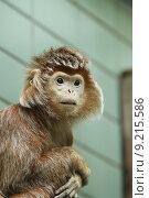 monkey haubenlangur haubenlangure haubenlanguren langur. Стоковое фото, фотограф Christian Colista / PantherMedia / Фотобанк Лори