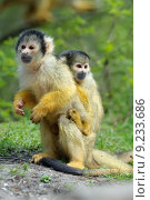 cute squirrel monkey. Стоковое фото, фотограф Eric Gevaert / PantherMedia / Фотобанк Лори