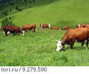 Купить «Cow in high mountain pasture», фото № 9279590, снято 19 сентября 2019 г. (c) PantherMedia / Фотобанк Лори
