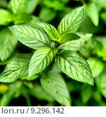 Купить «Peppermint - Mentha piperita also known as M balsamea Willd mint - high dynamic range HDR», фото № 9296142, снято 21 октября 2018 г. (c) PantherMedia / Фотобанк Лори