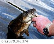 Купить «small mouth bass close up», фото № 9343374, снято 21 января 2020 г. (c) PantherMedia / Фотобанк Лори