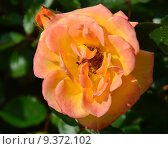 Купить «Роза патио Мериголд Свит Дрим (лат. Marigold Sweet Dream), Fryer 2010», эксклюзивное фото № 9372102, снято 17 июля 2015 г. (c) lana1501 / Фотобанк Лори