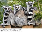 Ring Tailed Lemur, фото № 9382714, снято 29 марта 2017 г. (c) PantherMedia / Фотобанк Лори