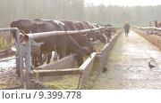 Коровы в загоне утром. Стоковое видео, видеограф Алексей Жарков / Фотобанк Лори