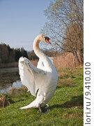 Купить «meadow poultry swan waterfowls waterfowl», фото № 9410010, снято 20 июня 2019 г. (c) PantherMedia / Фотобанк Лори