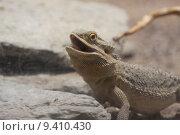 reptile saurian reptiles pogona agamae. Стоковое фото, фотограф Martina Berg / PantherMedia / Фотобанк Лори