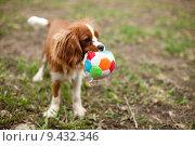 Собака играет с мячиком. Стоковое фото, фотограф Емельяненко Маргарита / Фотобанк Лори