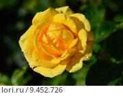 Купить «Роза чайно-гибридная Ю а Май Саншайн (Ты моё солнце) (лат. You Are My Sunshine), Fryers 2007», эксклюзивное фото № 9452726, снято 1 августа 2015 г. (c) lana1501 / Фотобанк Лори