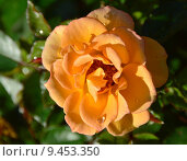 Купить «Роза патио Мериголд Свит Дрим (лат. Marigold Sweet Dream), Fryer 2010», эксклюзивное фото № 9453350, снято 1 августа 2015 г. (c) lana1501 / Фотобанк Лори