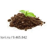 Купить «Young basil plant », фото № 9465842, снято 18 января 2019 г. (c) PantherMedia / Фотобанк Лори