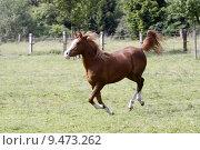 Купить «arab gelding gallop araberhengst araberstute», фото № 9473262, снято 21 марта 2019 г. (c) PantherMedia / Фотобанк Лори
