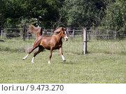 Купить «arab gelding gallop araberhengst araberstute», фото № 9473270, снято 21 марта 2019 г. (c) PantherMedia / Фотобанк Лори