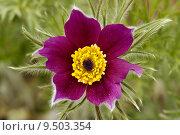 Купить «garden gardens vulgaris anemoneae hahnenfu», фото № 9503354, снято 20 апреля 2019 г. (c) PantherMedia / Фотобанк Лори