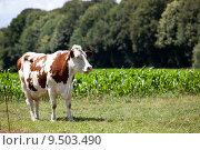 Купить «summer cow cows milker milkers», фото № 9503490, снято 19 сентября 2019 г. (c) PantherMedia / Фотобанк Лори