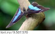 Купить «butterfly swallowtail archaeoprepona blaugestreifter schwalbenschwanz», фото № 9507570, снято 23 января 2019 г. (c) PantherMedia / Фотобанк Лори