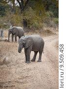 Купить «Wild elephant in the bush in Africa, Zambia», фото № 9509458, снято 23 марта 2019 г. (c) PantherMedia / Фотобанк Лори