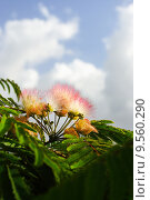 Купить «Flowers of acacia, Albizzia julibrissin.», фото № 9560290, снято 18 августа 2018 г. (c) PantherMedia / Фотобанк Лори
