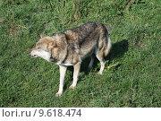 Купить «wolf lupus canis dog predator», фото № 9618474, снято 22 июля 2019 г. (c) PantherMedia / Фотобанк Лори