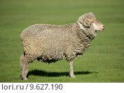 Купить «Merino sheep», фото № 9627190, снято 19 сентября 2019 г. (c) PantherMedia / Фотобанк Лори