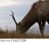 Купить «Young Male Elk Grazing National Bison Range Charlo Montana», фото № 9627590, снято 19 сентября 2019 г. (c) PantherMedia / Фотобанк Лори