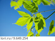Купить «Fresh green leaves against blue sky», фото № 9649254, снято 25 февраля 2020 г. (c) PantherMedia / Фотобанк Лори